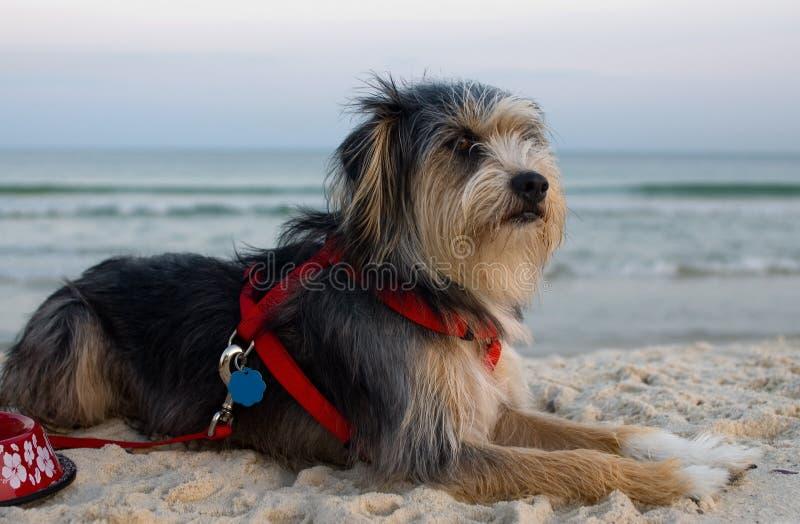 Dog on beach royalty free stock photo