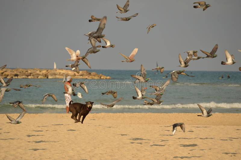 The dog on the beach chasing birds royalty free stock photography