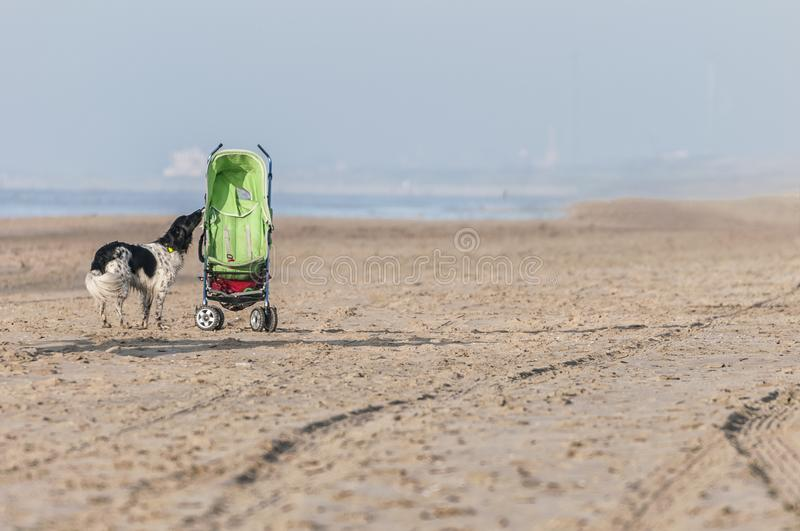 Dog on the beach next to a baby buggy stock photo
