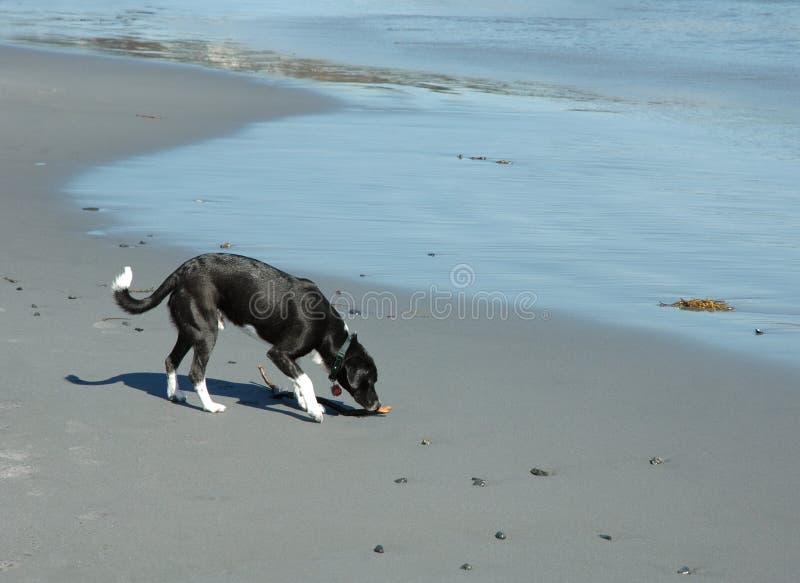 Dog On The Beach II Royalty Free Stock Image