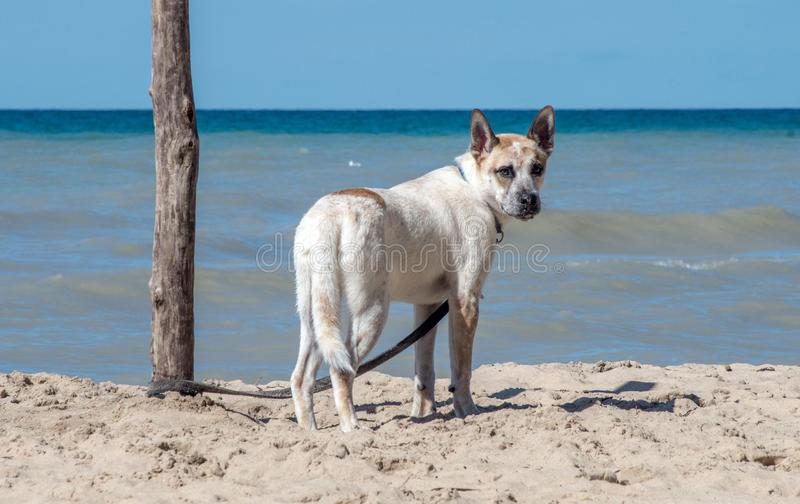 Dog on the beach with a leash royalty free stock photography