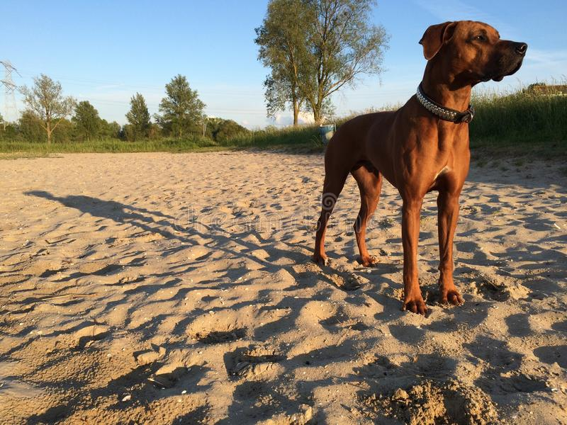 Dog on beach long shadow. Elmo rhodesian ridgeback on the beach with trees in the background. standing in de sand. Late in the day royalty free stock photo