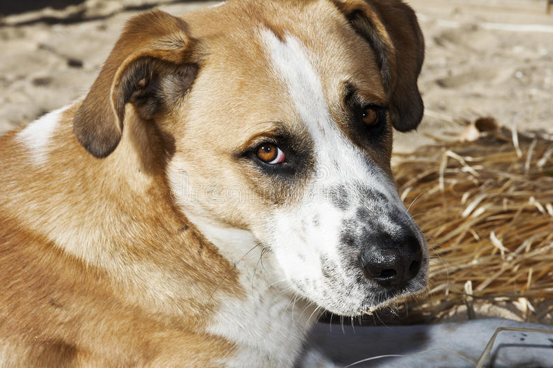 Dog on the beach, the owner abandoned. Dog on the beach with sad look abandoned host royalty free stock photo