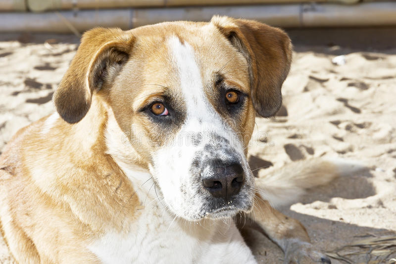 Dog on the beach, the owner abandoned. Dog on the beach with sad look abandoned host stock images