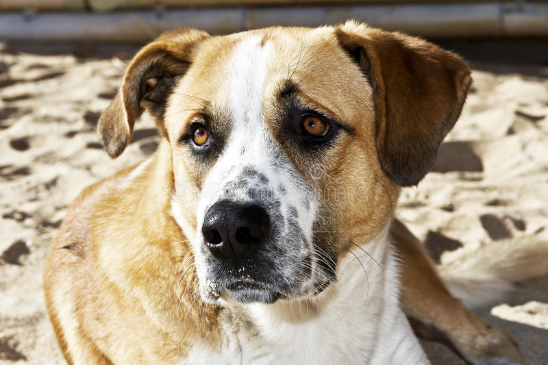 Dog on the beach, the owner abandoned. Dog on the beach with sad look abandoned host royalty free stock photography