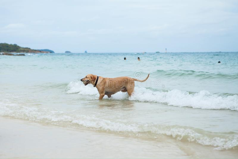 Download Dog on the beach stock image. Image of beautiful, active - 43211025