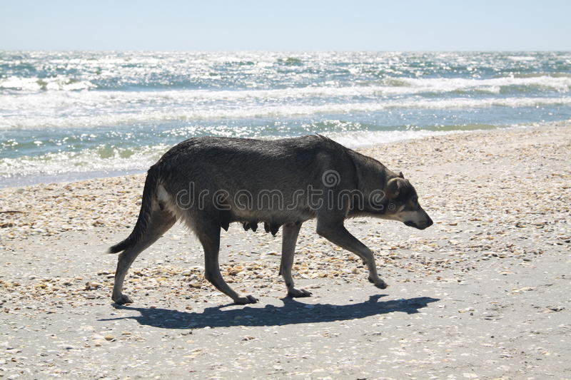 Dog at the beach. Dog on a beach in redish light of sunrise stock images