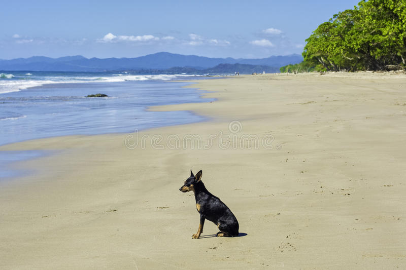 Download Dog on Beach stock photo. Image of beautiful, patient - 36385664