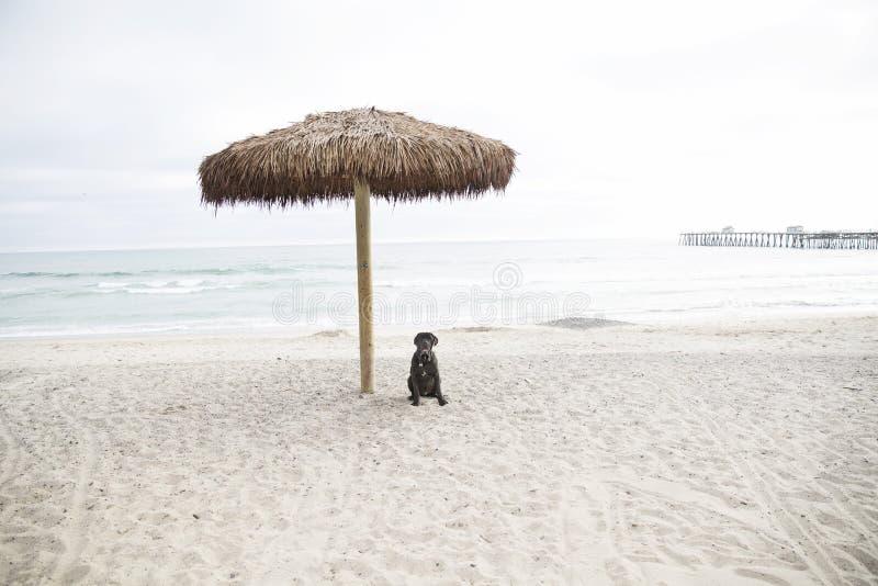 Dog at the beach under umbrella royalty free stock photo