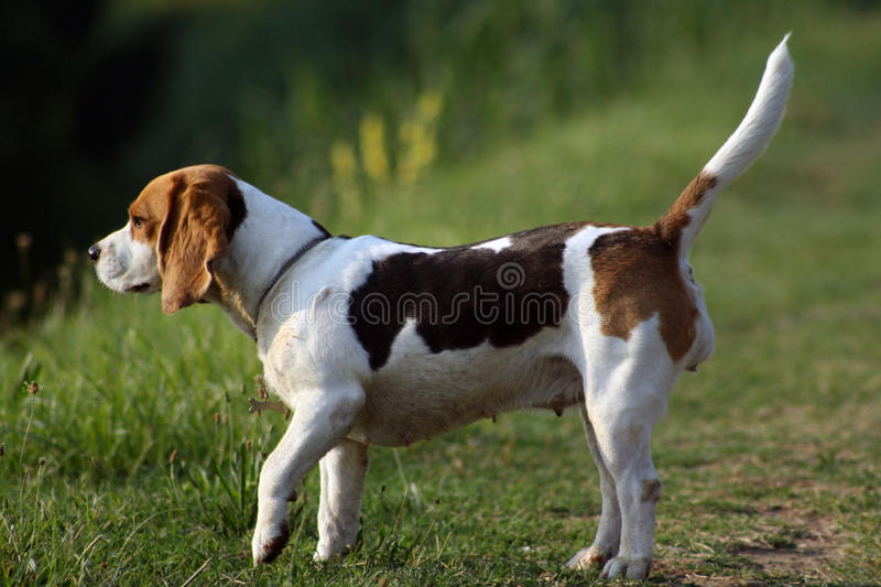 Download Dog beagle stock image. Image of beagle, adorable, grass - 16926737