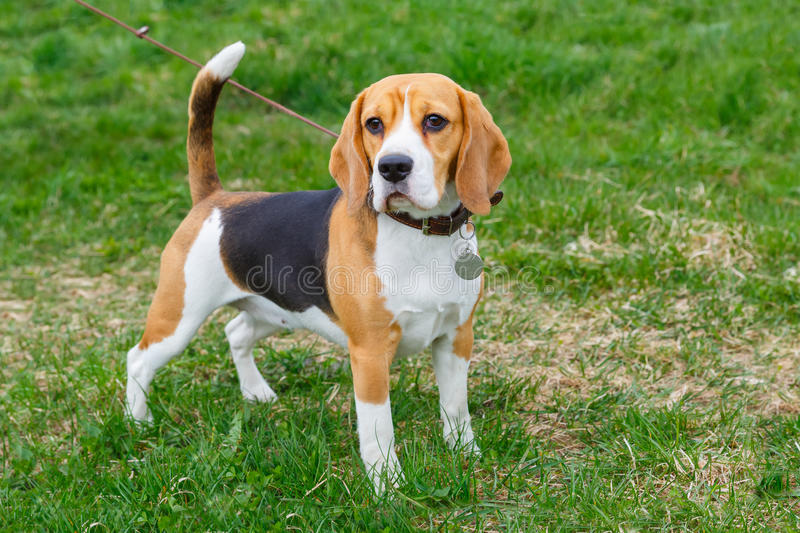 Dog Beagle breed standing on the green grass royalty free stock image