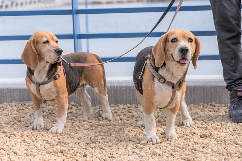 Dog Beagle Breed. Standing On Green Grass stock photo