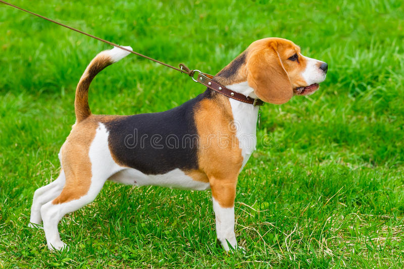Dog Beagle breed standing on the green grass stock photography