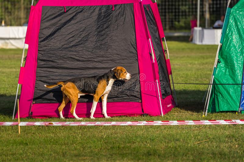 One dog on the grass. Dog beagle at the colorful tents in a warm sunny summer evening royalty free stock photography