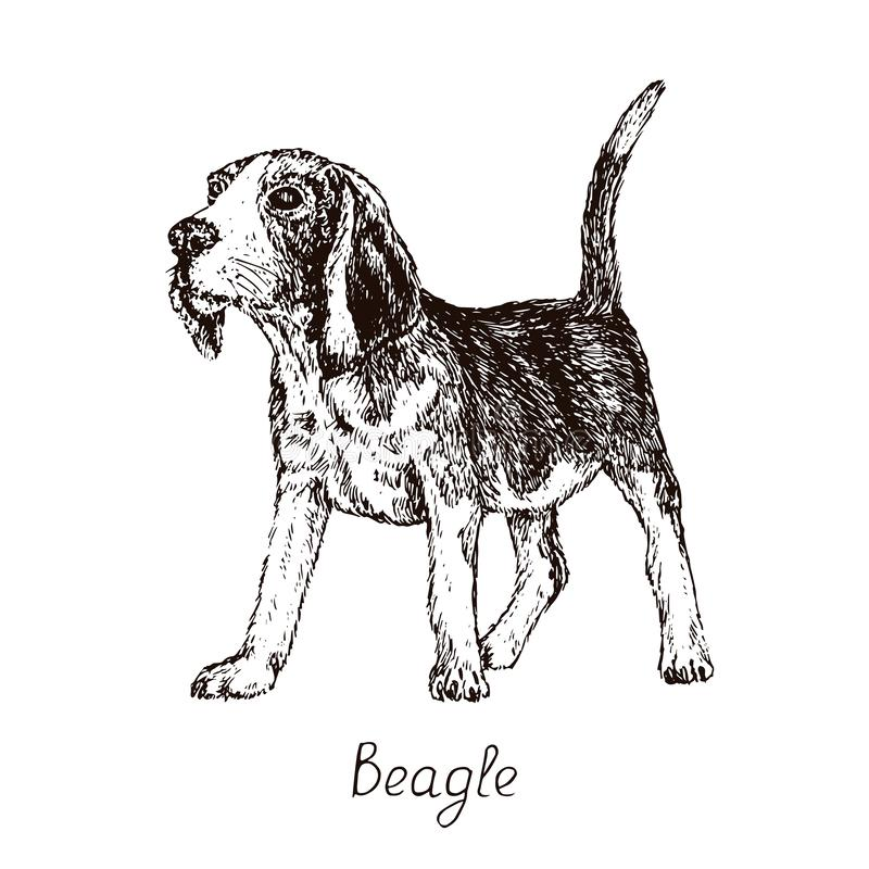 Dog of Beagle English Beagle breed sitting, hand drawn doodle sketch with inscription, isolated vector illustration stock illustration