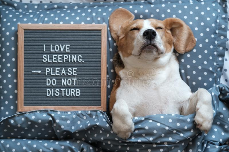 Dog Beagle funny sleeping on the pillow next to the Board with the inscription I love to sleep . Please do not disturb stock photos