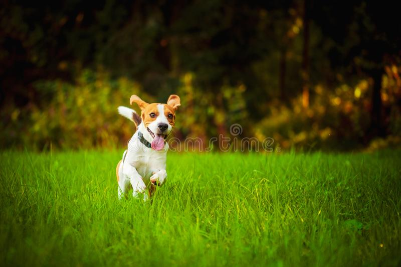 Dog having fun running towards camera with tongue out towards camera in summer day on meadow field stock images