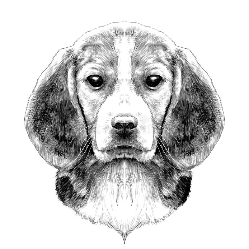 Dog Beagle head. Dog head breed Beagle sketch vector graphics black and white drawing stock illustration