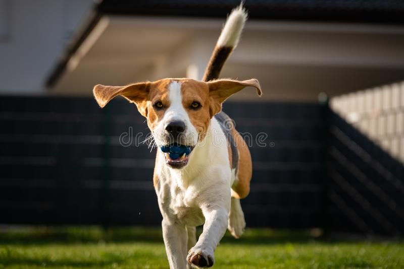 Beagle dog with a ball on a green meadow during spring,summer runs towards camera with ball. Dog Beagle with long floppy ears on a green meadow during spring royalty free stock photography