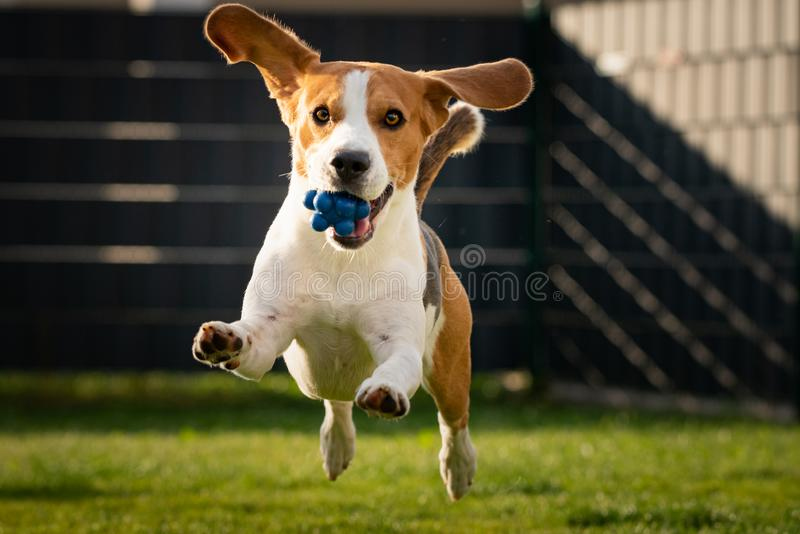 Beagle dog with a ball on a green meadow during spring,summer runs towards camera with ball royalty free stock photography