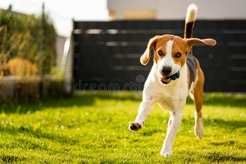 Beagle dog with a ball on a green meadow during spring,summer runs towards camera with ball. Dog Beagle with long floppy ears on a green meadow during spring stock image