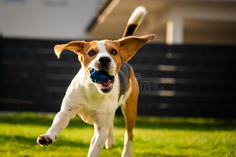 Beagle dog with a ball on a green meadow during spring,summer runs towards camera with ball. Dog Beagle with long floppy ears on a green meadow during spring royalty free stock photo