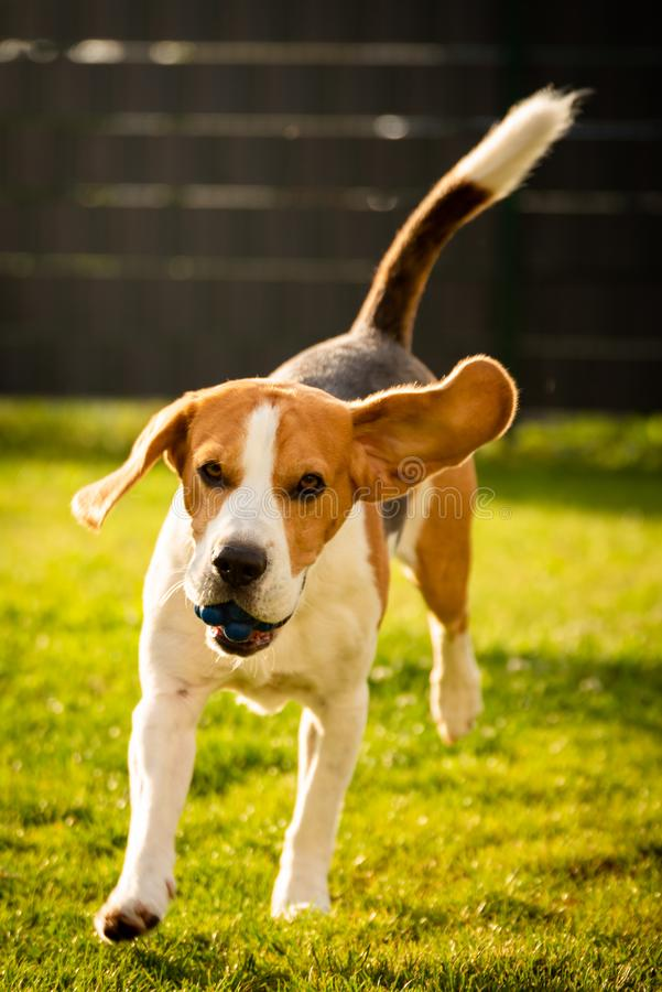 Beagle dog with a ball on a green meadow during spring,summer runs towards camera with ball. Dog Beagle with long floppy ears on a green meadow during spring royalty free stock photos
