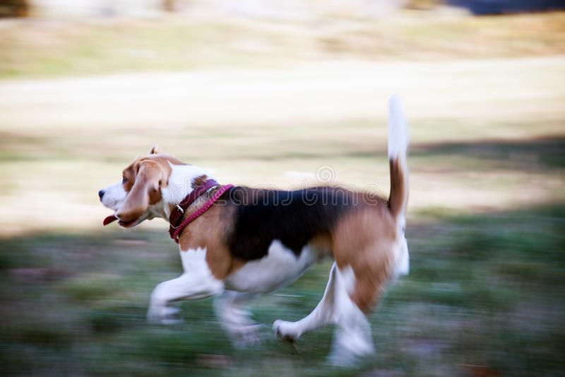Dog beagle runs on nature stock photos