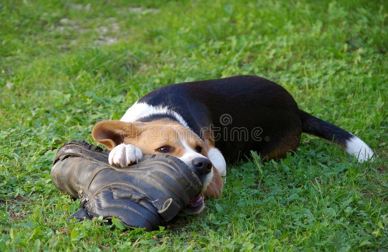 Dog beagle and shoe. Dog beagle playing with two shoes on a green grass royalty free stock photos