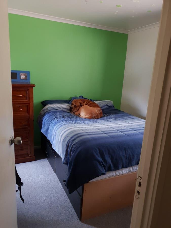 Dog asleep on bed stock image
