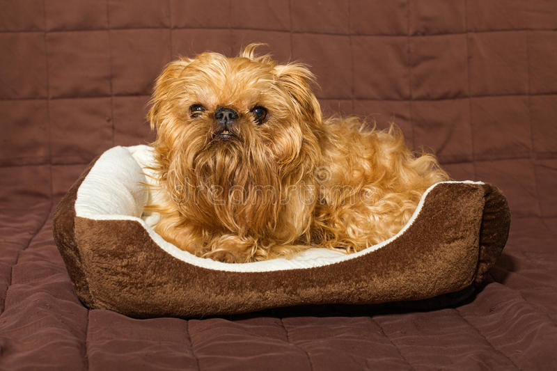 Dog in bed royalty free stock photo