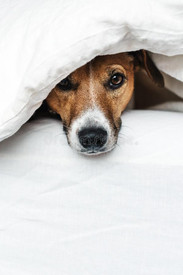 The dog on the bed. Cute dog Jack Russell Terrier peeking out from under blankets on a white bed stock photo