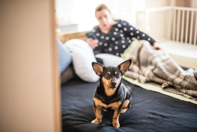 Dog on a bed. Dog on human`s bed. Woman lying and dog on the bed as in it`s lair royalty free stock photo