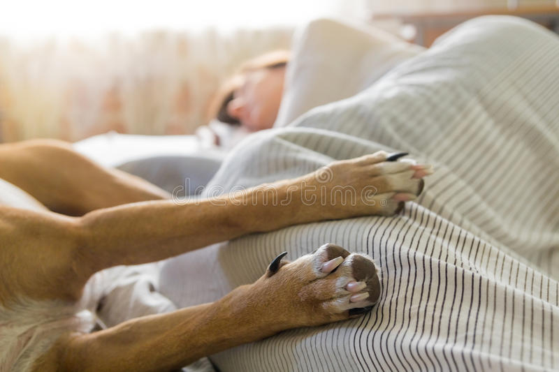 Dog in bed with human . stock images