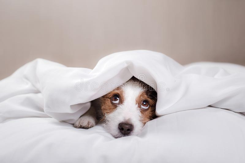 Dog in bed. Jack Russell Terrier royalty free stock photos