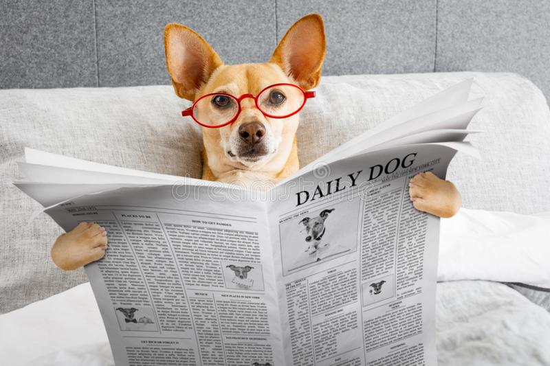 Dog in bed reading newspaper stock images