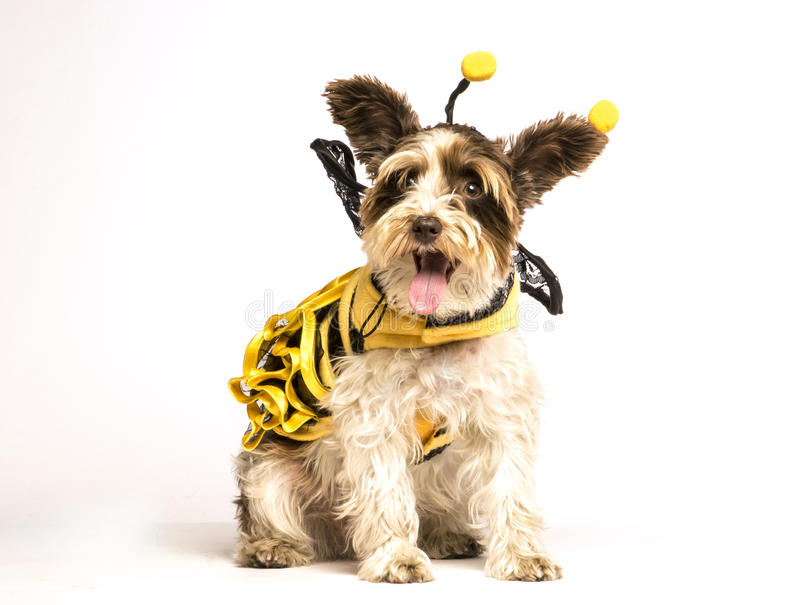 Dog in bee costume. A small white dog is sitting on a white background wearing a bee costume for Halloween royalty free stock photo