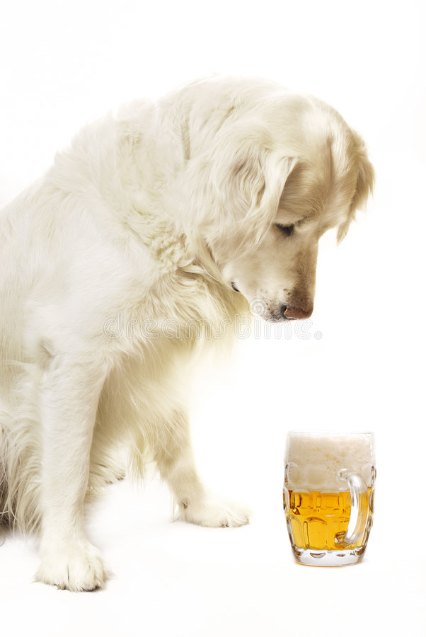 Dog with beer. Golden retriever dog looking down with interest at a mug of fresh beer