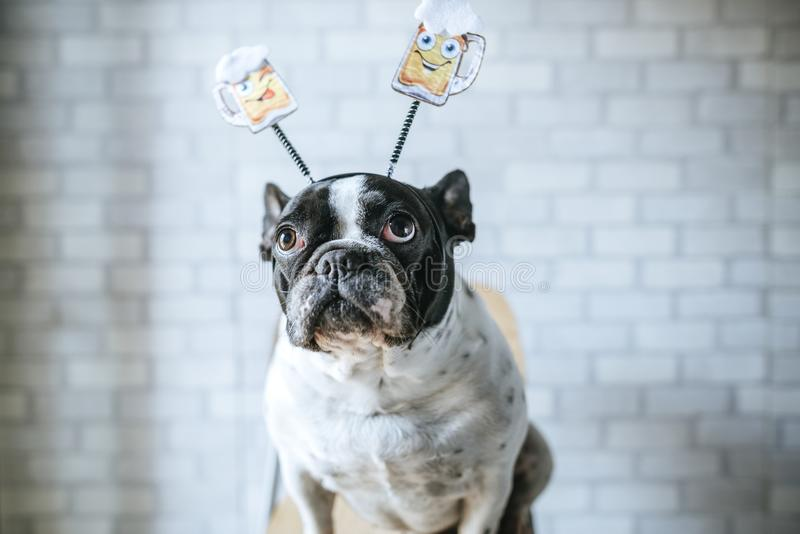 Dog with beer diadem stock image