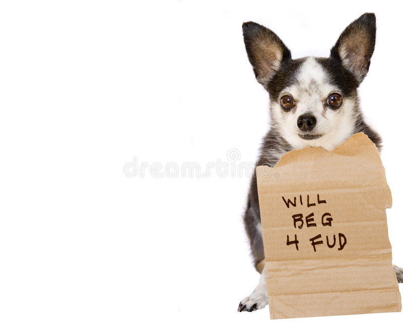 Dog begging. A chihuahua dog with cardboard sign begging for food