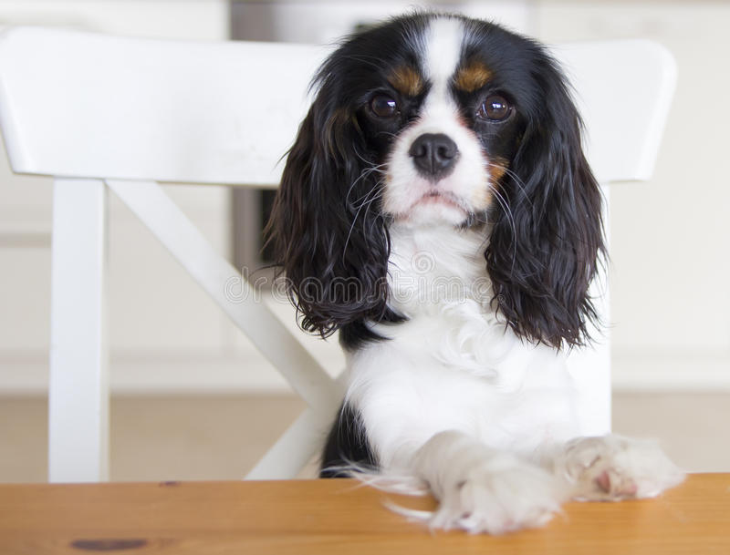 Dog begging for food royalty free stock images