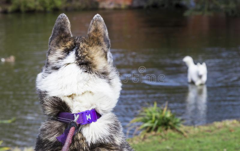 Dog from behind looking at another dog in the wter. Dog looking at another dog in the river stock image