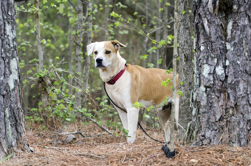 Dog behind pine tree, Lab Bulldog mixed breed dog with red collar, pet adoption photography. Female tan and white Labrador mixed breed puppy dog with red collar royalty free stock photography