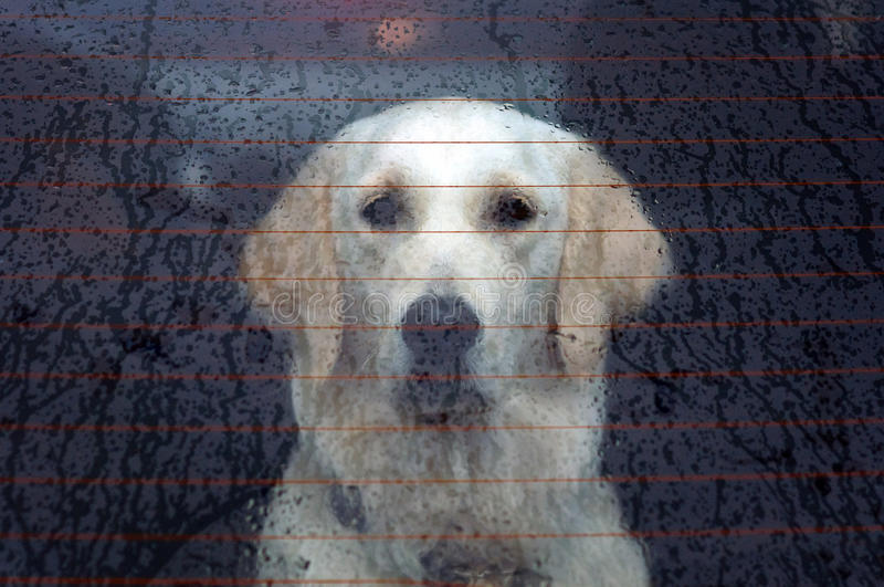Dog behind the rear car window stock photography
