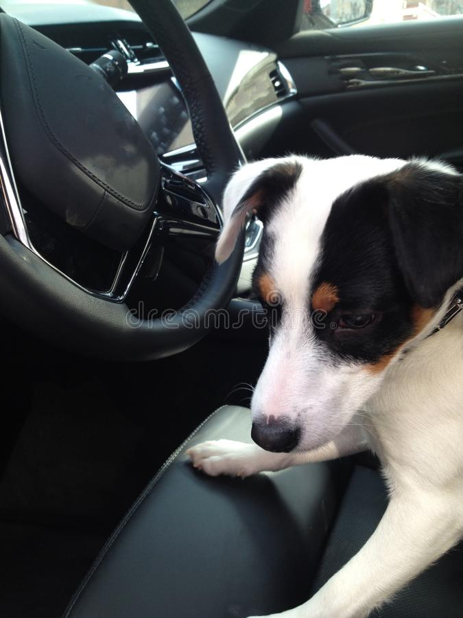 Dog behind the wheel - Puppy in luxury car driving road trip pet safety. Black and white puppy with floppy ears in a luxury black leather interior car royalty free stock photo