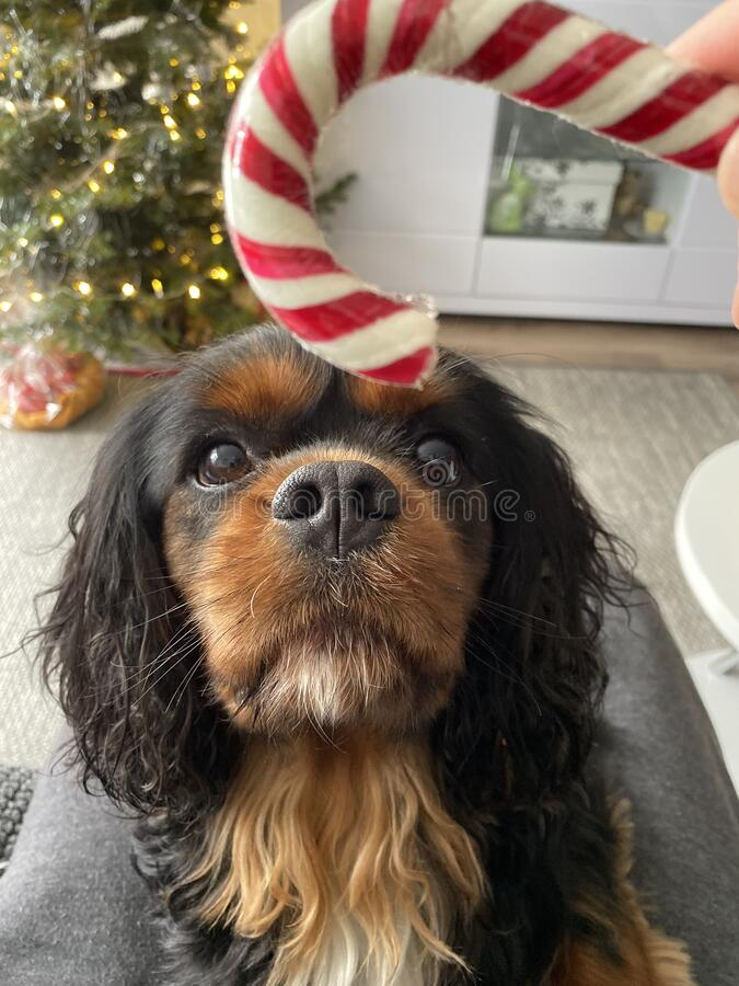Free Dog Being Enticed By Candy Cane Toy Stock Photos - 179428863