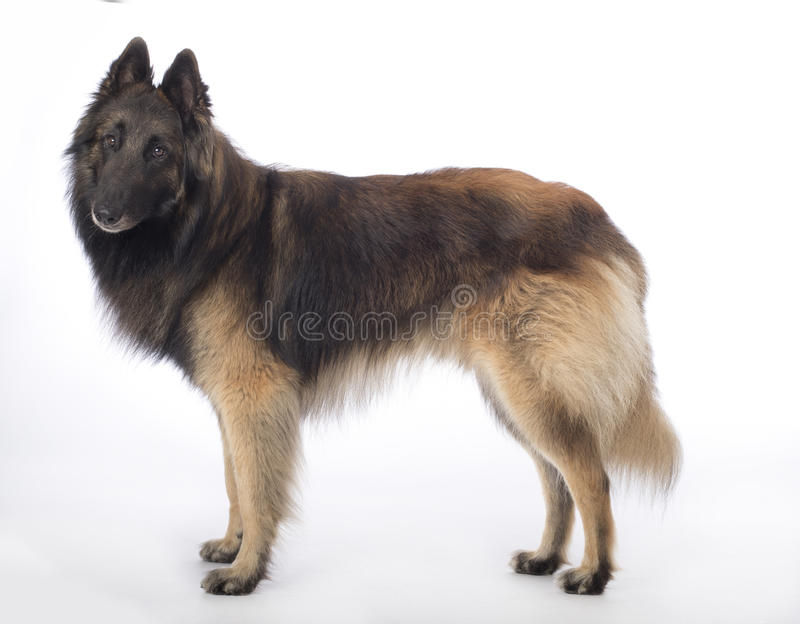 Dog, Belgian Shepherd Tervuren, standing on white studio background. Dog, Belgian Shepherd Tervuren, standing on a white studio background royalty free stock photos
