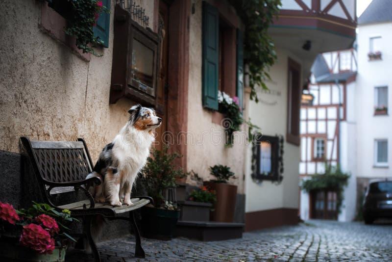 Dog on a bench in the city. Australian Shepherd, travel stock photos
