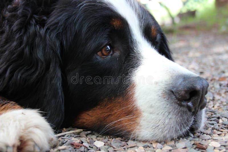 Dog, Bernese Mountain Dog, Dog Breed, Dog Like Mammal stock photography