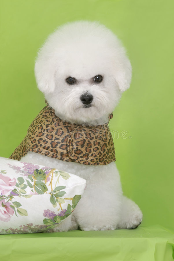 Download Dog Bichon puppy stock photo. Image of background, small - 7594550